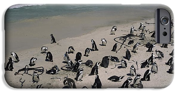 Flocks Of Birds iPhone Cases - Colony Of Jackass Penguins Spheniscus iPhone Case by Panoramic Images