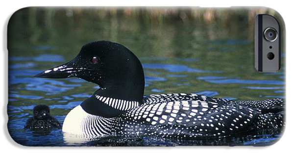 Loon iPhone Cases - Common Loon iPhone Case by Mark Newman