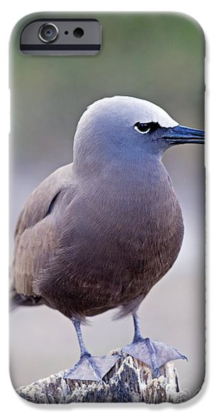 Sea Birds iPhone Cases - Common Noddy On A Wooden Stump iPhone Case by Tony Camacho