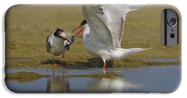 Feeds Chicks iPhone Cases - Common tern Sterna hirundo iPhone Case by Eyal Bartov