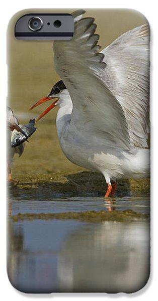 Common tern Sterna hirundo iPhone Case by Eyal Bartov