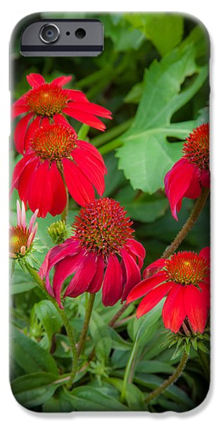 Abstracted Coneflowers iPhone Cases - Coneflowers Echinacea Red  iPhone Case by Rich Franco