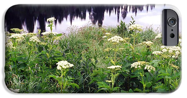Moose In Water iPhone Cases - Cow Parsnip Heracleum Maximum Flowers iPhone Case by Panoramic Images
