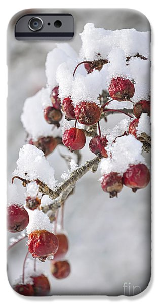 Berry iPhone Cases - Crab apples on snowy branch iPhone Case by Elena Elisseeva
