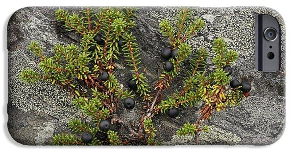 Berry iPhone Cases - Crowberry Fruit Empetrum Nigrum iPhone Case by Bjorn Svensson