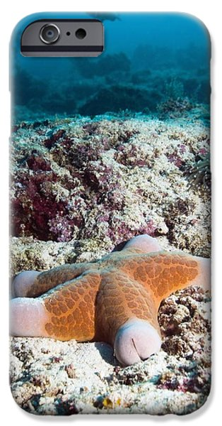Granulatus iPhone Cases - Cushion Star Starfish iPhone Case by Georgette Douwma