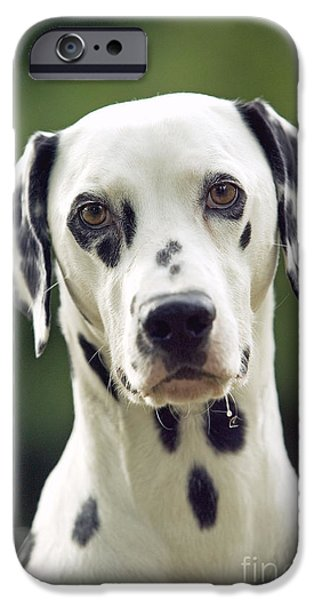 Dog Close-up iPhone Cases - Dalmatian Dog iPhone Case by Jean-Michel Labat