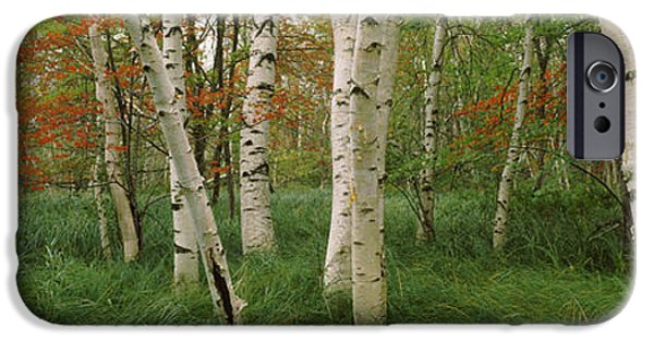 Maine iPhone Cases - Downy Birch Betula Pubescens Trees iPhone Case by Panoramic Images