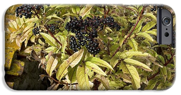 Black Berries iPhone Cases - Dwarf Elder Sambucus Ebulus iPhone Case by Bob Gibbons