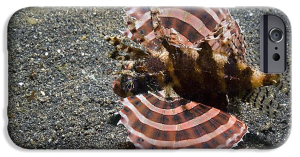Bed Spread iPhone Cases - Dwarf Lionfish On The Seabed iPhone Case by Georgette Douwma