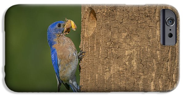 Butterfly Prey iPhone Cases - Eastern Bluebird  iPhone Case by Susan Candelario