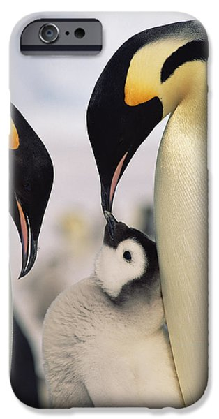 Baby Bird iPhone Cases - Emperor Penguin Parents With Chick iPhone Case by Konrad Wothe