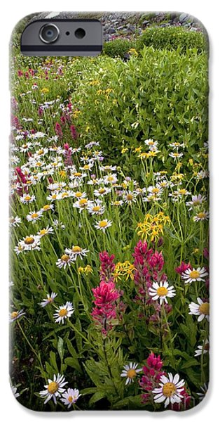 Floral Photographs iPhone Cases - Erigeron Peregrinus Ssp. Callianthemus iPhone Case by Bob Gibbons