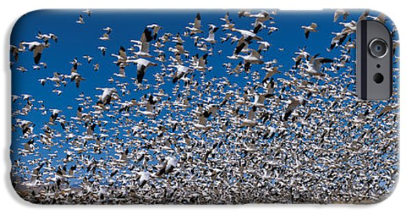 Flocks Of Birds iPhone Cases - Flock Of Snow Geese Chen Caerulescens iPhone Case by Panoramic Images
