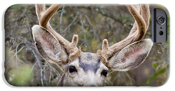 Recently Sold -  - Innocence iPhone Cases - Funny mule deer buck portrait with velvet antler iPhone Case by Stephan Pietzko