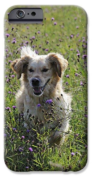 Golden Retriever Dog iPhone Case by John Daniels
