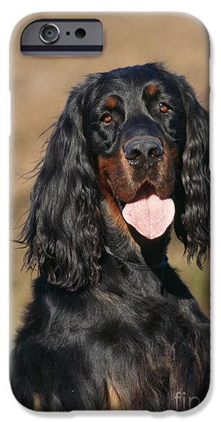 Gordon Setter iPhone Cases - Gordon Setter Dog iPhone Case by John Daniels