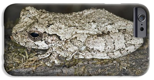 Anuran iPhone Cases - Gray Treefrog iPhone Case by Clay Coleman