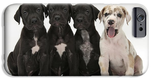 Great Dane Puppy iPhone Cases - Great Dane Puppies iPhone Case by Mark Taylor