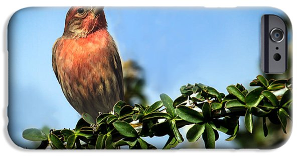 Haybale iPhone Cases - House Finch iPhone Case by Robert Bales