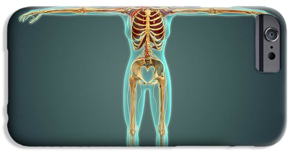 Sacral Plexus iPhone Cases - Human Body Showing Skeletal System iPhone Case by Stocktrek Images