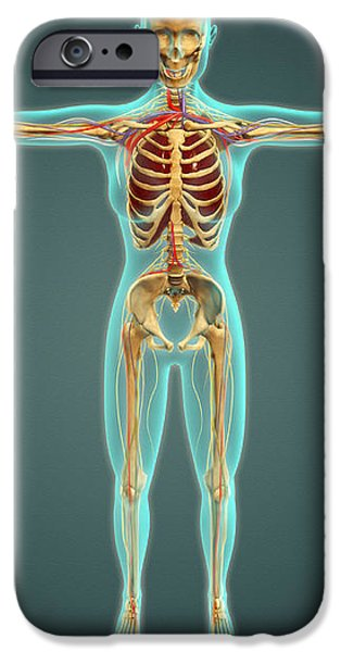 Human Body Showing Skeletal System iPhone Case by Stocktrek Images
