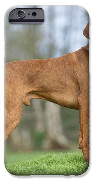 Hungarian Vizsla Dog iPhone Case by John Daniels