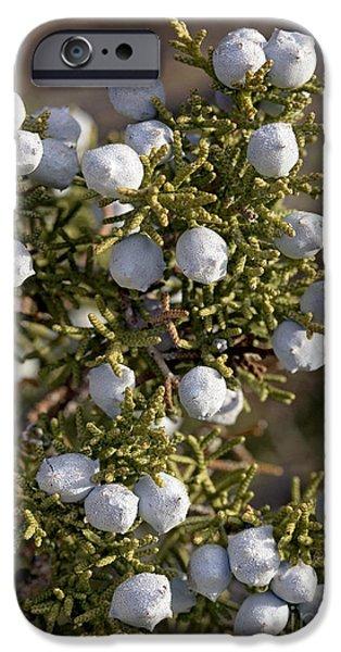 Berry iPhone Cases - Juniper Berries Juniperus Californicus iPhone Case by Bob Gibbons
