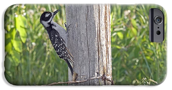 Hairy Woodpecker iPhone Cases - Juvenile Hairy Woodpecker iPhone Case by Linda Freshwaters Arndt
