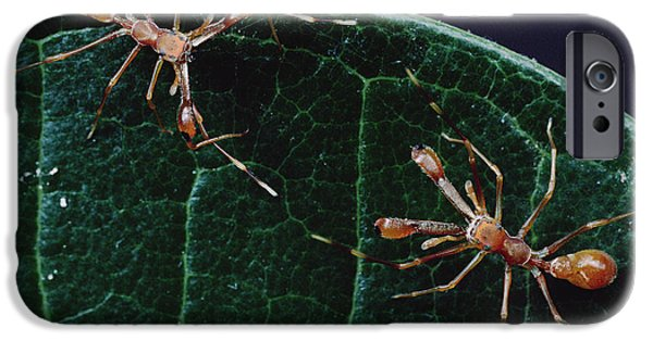 Jumping Spiders iPhone Cases - Kerengga Ant-like Jumper Males Fighting iPhone Case by Mark Moffett