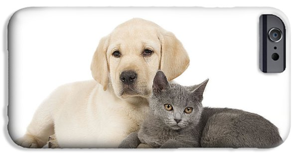 Mixed Labrador Retriever iPhone Cases - Labrador Puppy With Chartreux Kitten iPhone Case by Jean-Michel Labat