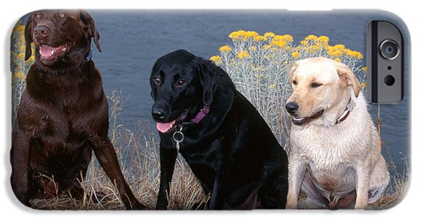 Chocolate Lab iPhone Cases - Labrador Retrievers iPhone Case by William H. Mullins