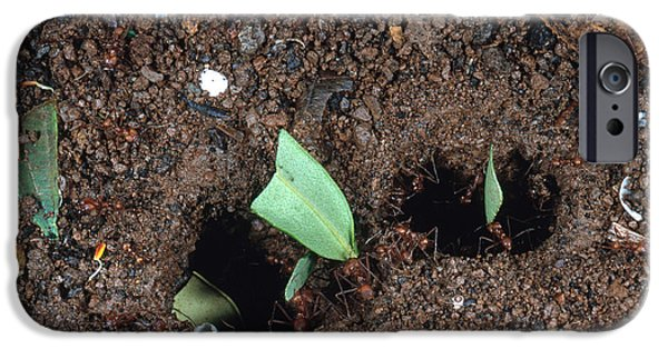 Mounds iPhone Cases - Leafcutter Ants At Nest iPhone Case by Gregory G. Dimijian, M.D.