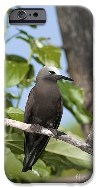 Sea Birds iPhone Cases - Lesser Noddy In A Tree iPhone Case by Tony Camacho