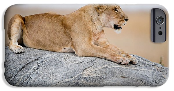 Fauna iPhone Cases - Lioness Panthera Leo Sitting On A Rock iPhone Case by Panoramic Images