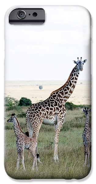 Masai Mara Photographs iPhone Cases - Masai Giraffes Giraffa Camelopardalis iPhone Case by Panoramic Images