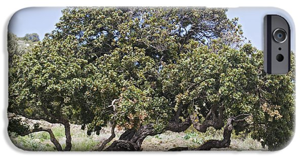 Agricultural iPhone Cases - Mastic Tree Pistacia Lentiscus Var.chia iPhone Case by Bob Gibbons