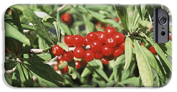 Berry iPhone Cases - Mezereon Berries Daphne Mezereum iPhone Case by Adrian T Sumner