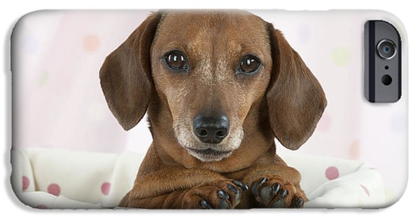 Dog Close-up iPhone Cases - Miniature Short-haired Dachshund iPhone Case by John Daniels