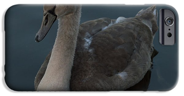 Fauna iPhone Cases - Mute Swan Cygnet iPhone Case by Robert Carr