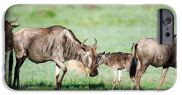 Wild Animals iPhone Cases - Newborn Wildebeest Calf iPhone Case by Panoramic Images