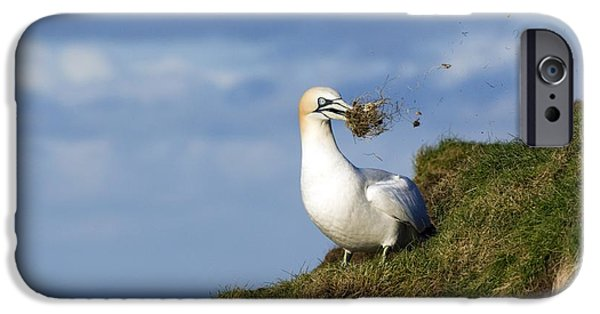 North Sea iPhone Cases - Northern Gannet iPhone Case by Duncan Shaw