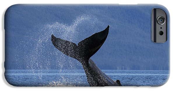Chatham iPhone Cases - On A Sunny Morning A Humpback Whale iPhone Case by John Hyde