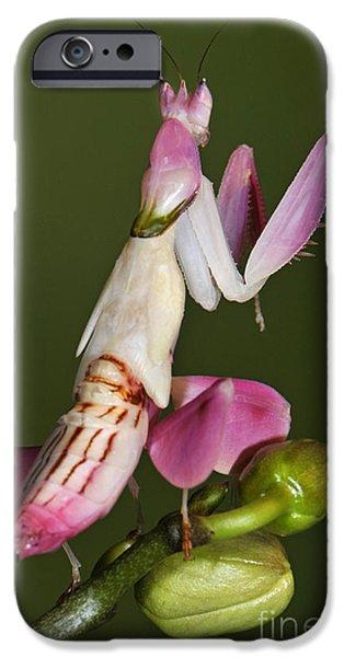 Mantises iPhone Cases - Orchid Mantis iPhone Case by Francesco Tomasinelli