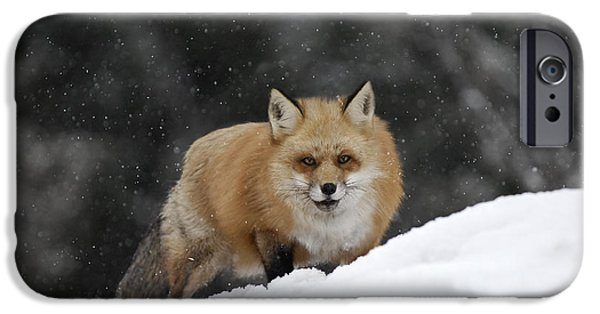 Animals Photographs iPhone Cases - Out Foxed Again iPhone Case by Wildlife Fine Art