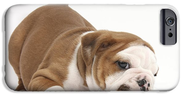 Puppies iPhone Cases - Playful Bulldog Puppy iPhone Case by Mark Taylor