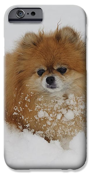 Pomeranian In Snow iPhone Case by John Shaw
