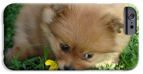 Puppy Love Framed Prints iPhone Cases - Pomeranian Puppy iPhone Case by Tegan Jarvis