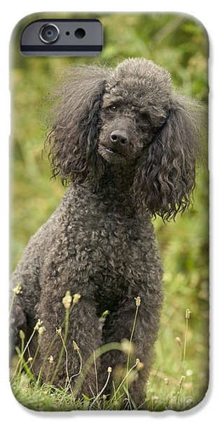 Gray Hair iPhone Cases - Poodle Dog iPhone Case by Jean-Michel Labat