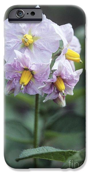Charlotte iPhone Cases - Potato Solanum Tuberosum Charlotte iPhone Case by Maxine Adcock